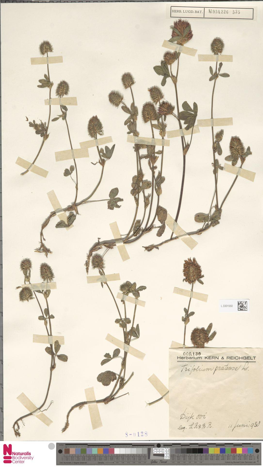 L.3301550 | Trifolium pratense L.