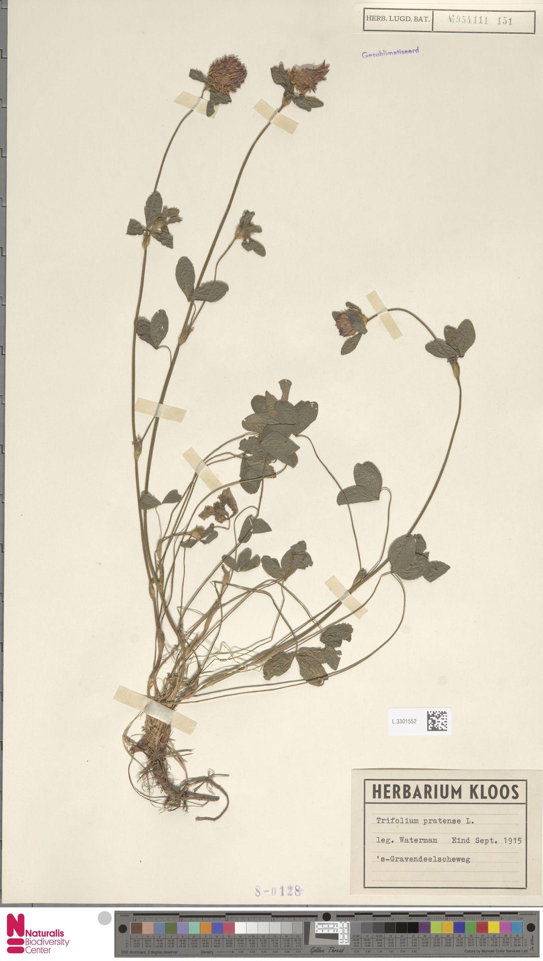 L.3301552   Trifolium pratense L.