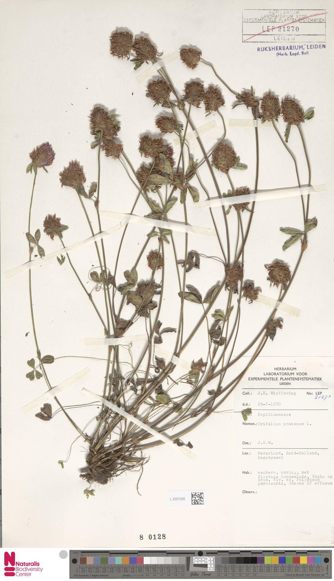 L.3301558 | Trifolium pratense L.