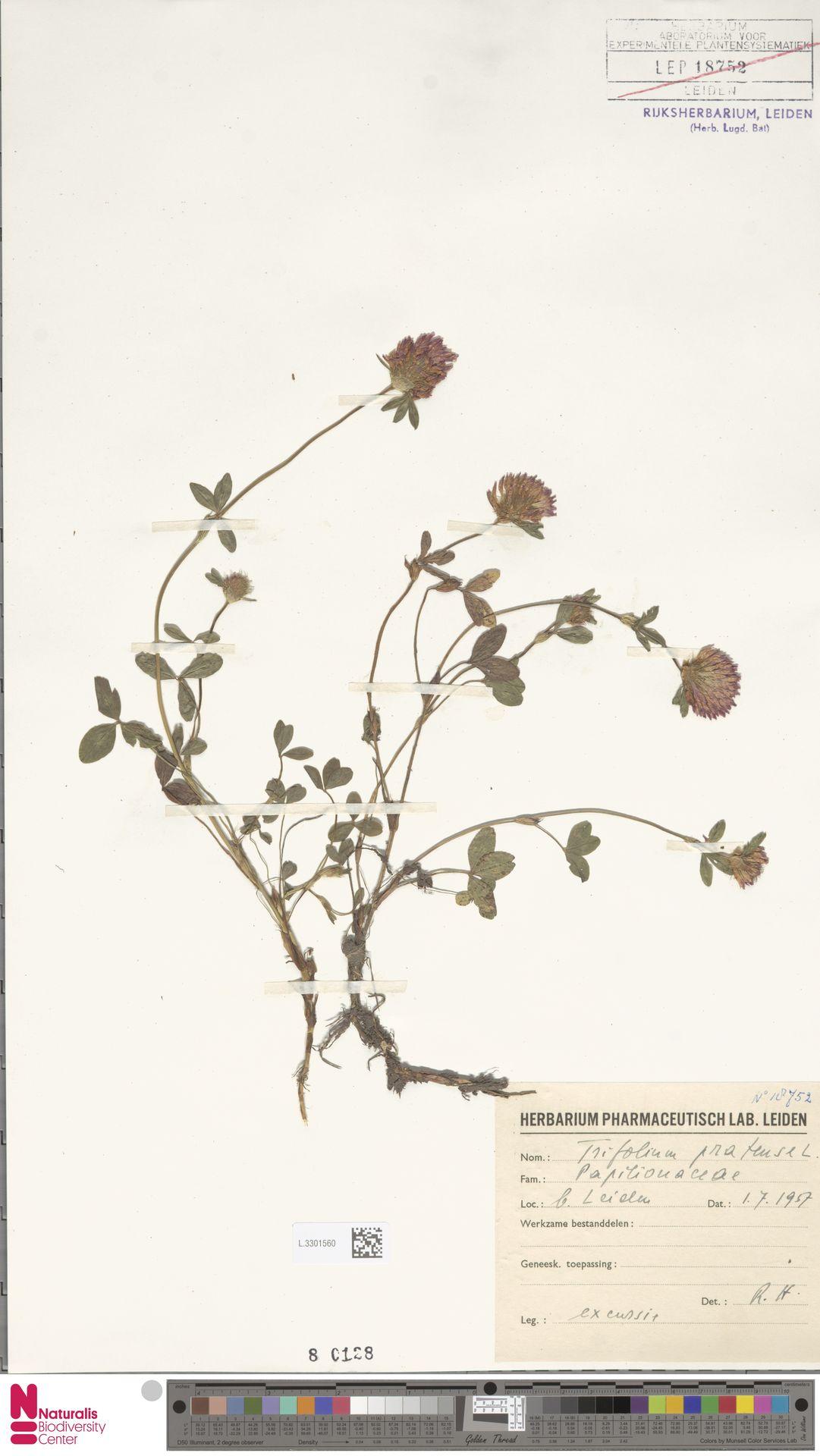 L.3301560 | Trifolium pratense L.