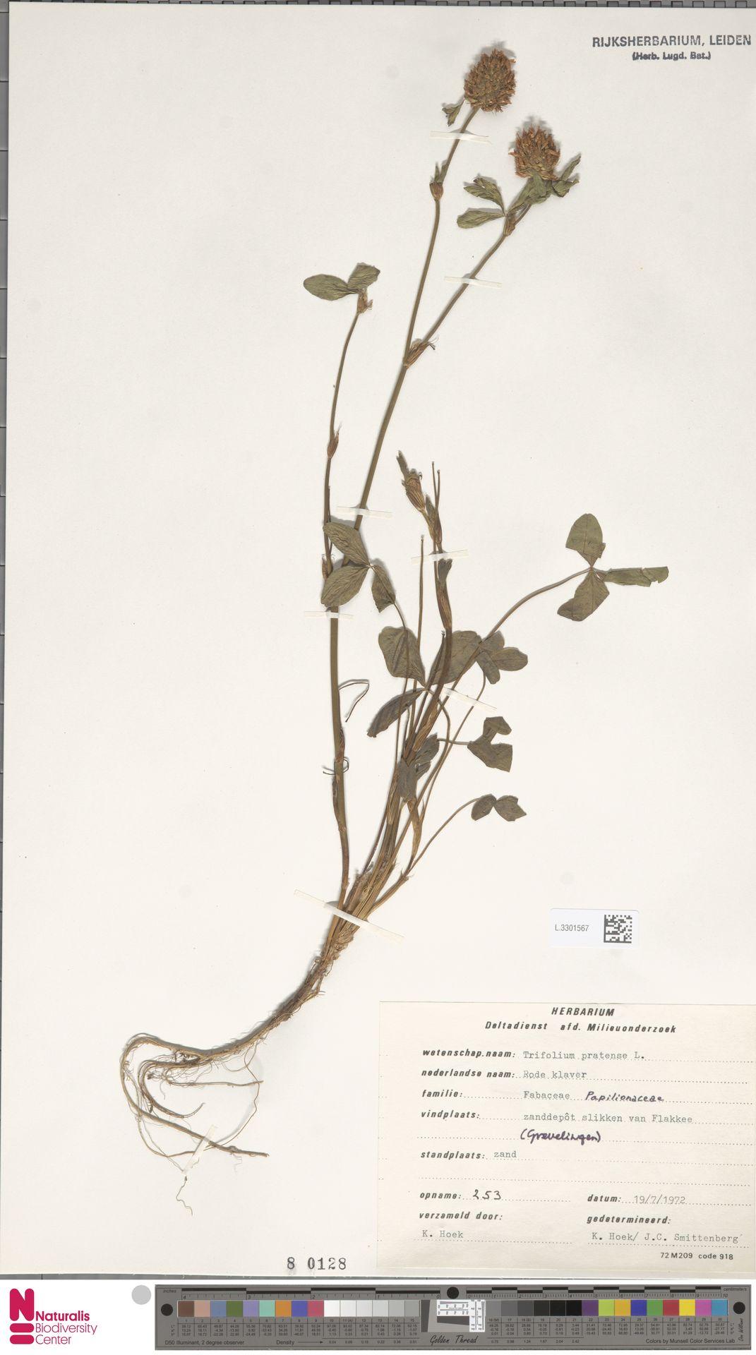 L.3301567 | Trifolium pratense L.