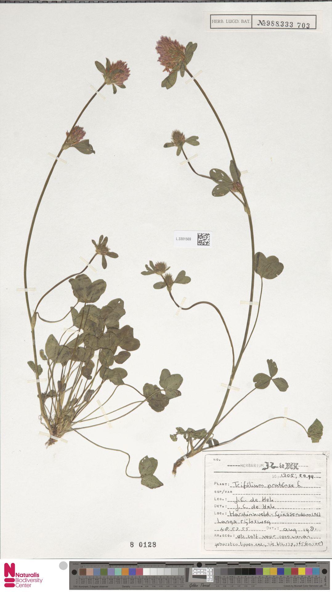 L.3301569 | Trifolium pratense L.
