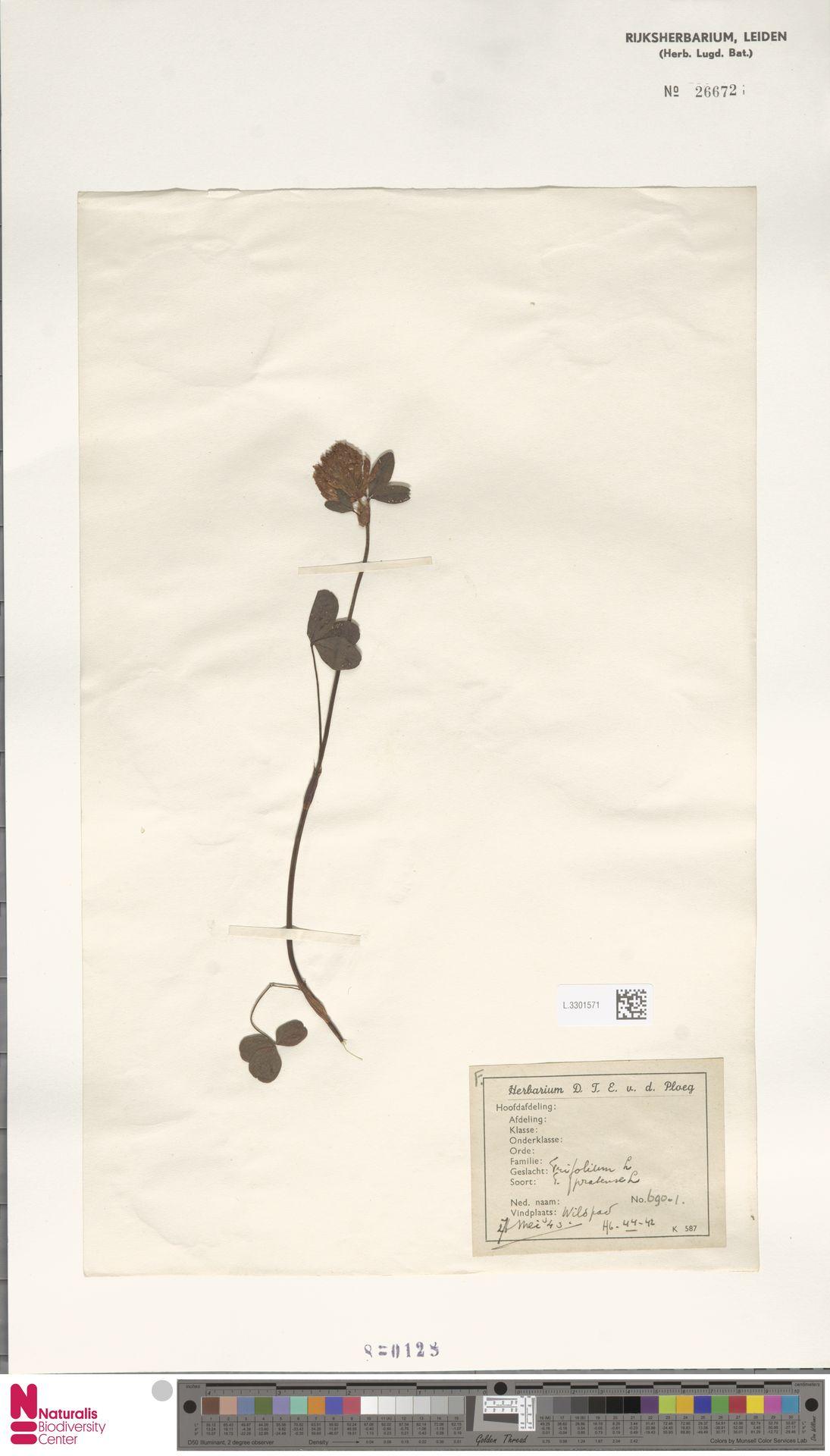L.3301571   Trifolium pratense L.
