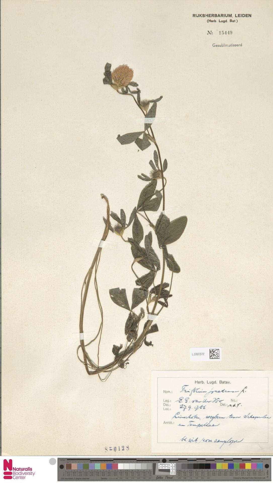 L.3301572 | Trifolium pratense L.