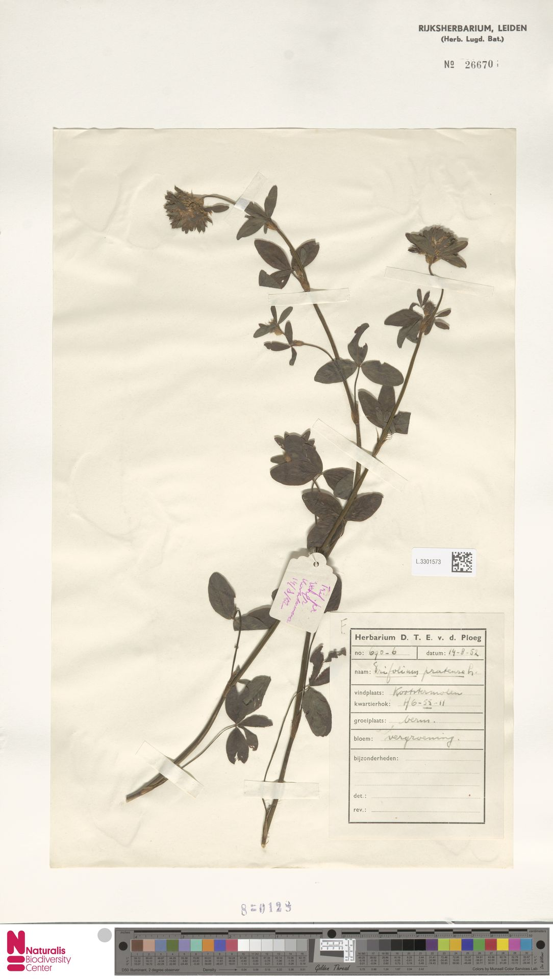 L.3301573 | Trifolium pratense L.