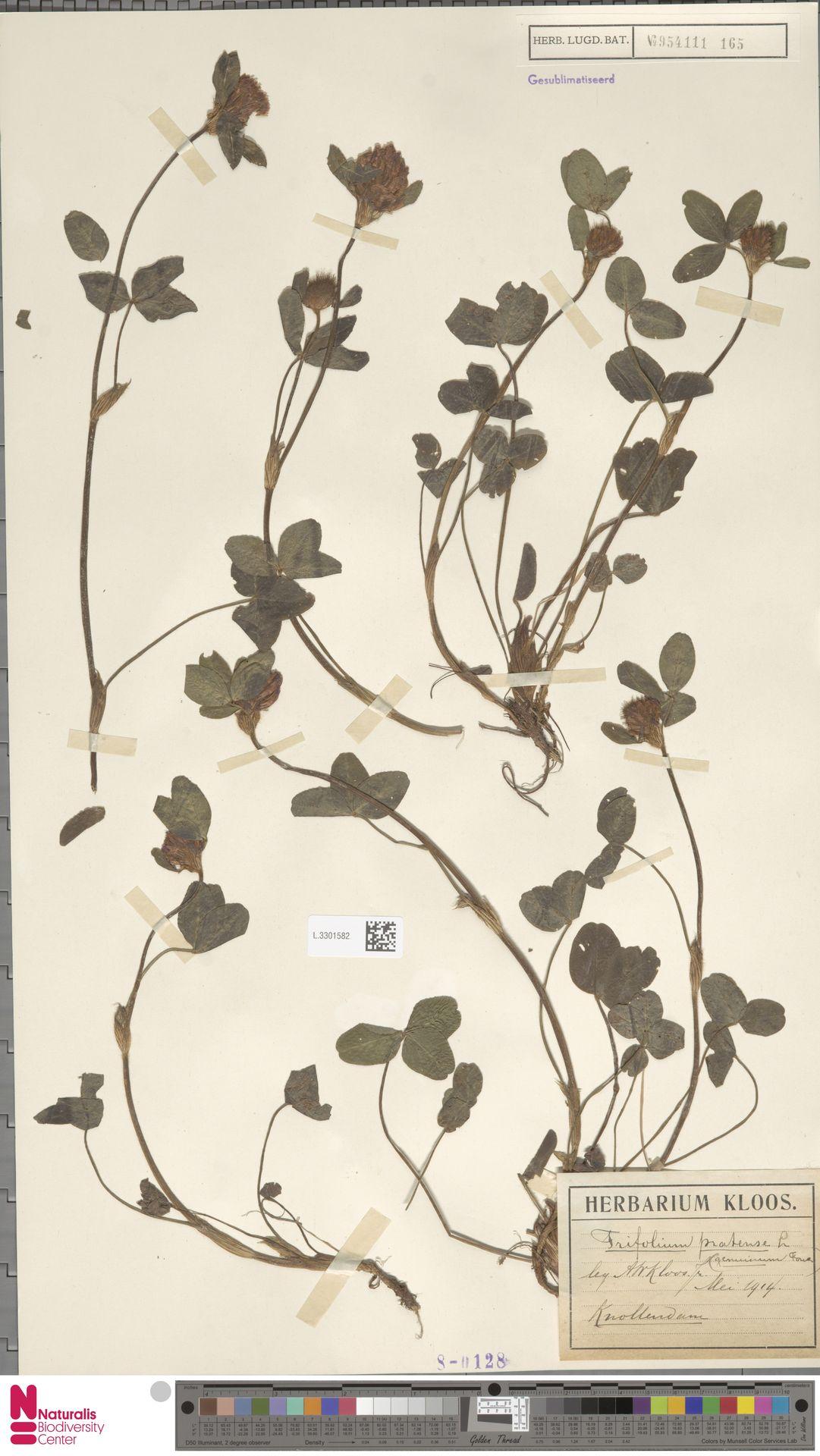L.3301582 | Trifolium pratense L.
