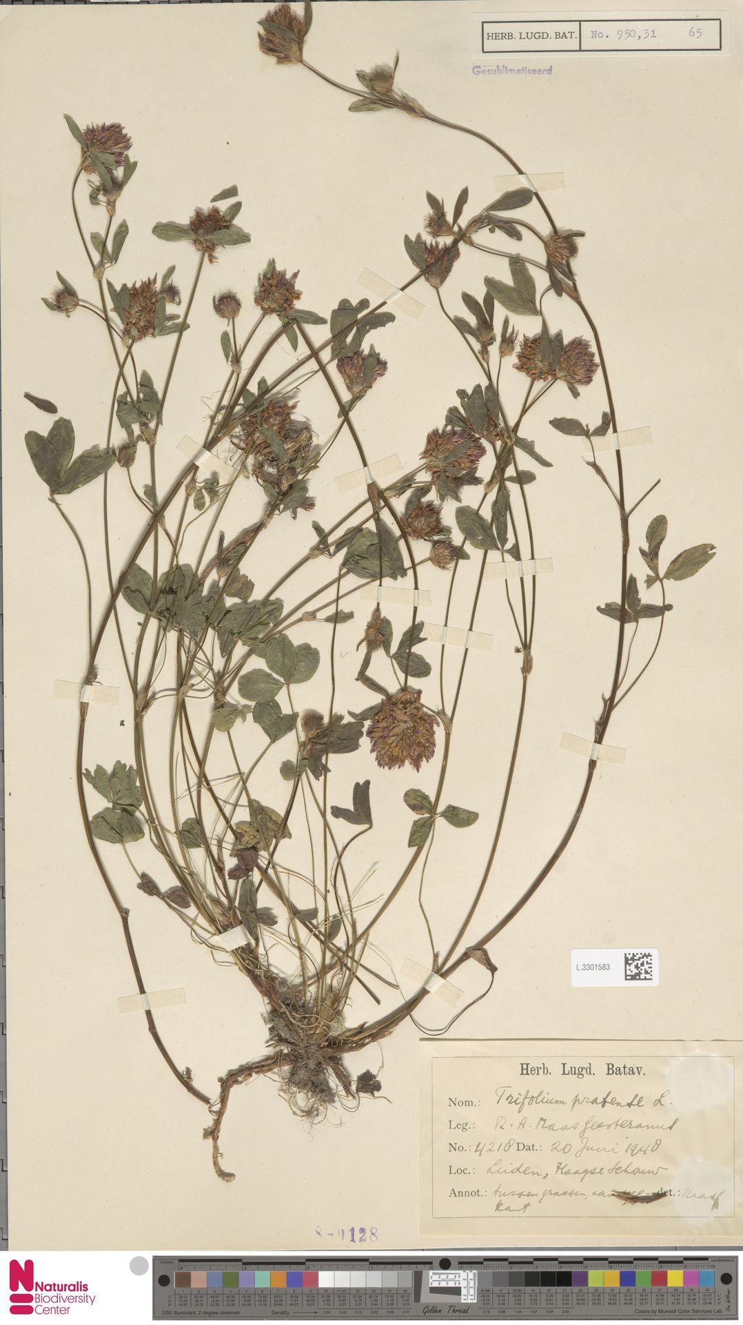 L.3301583 | Trifolium pratense L.