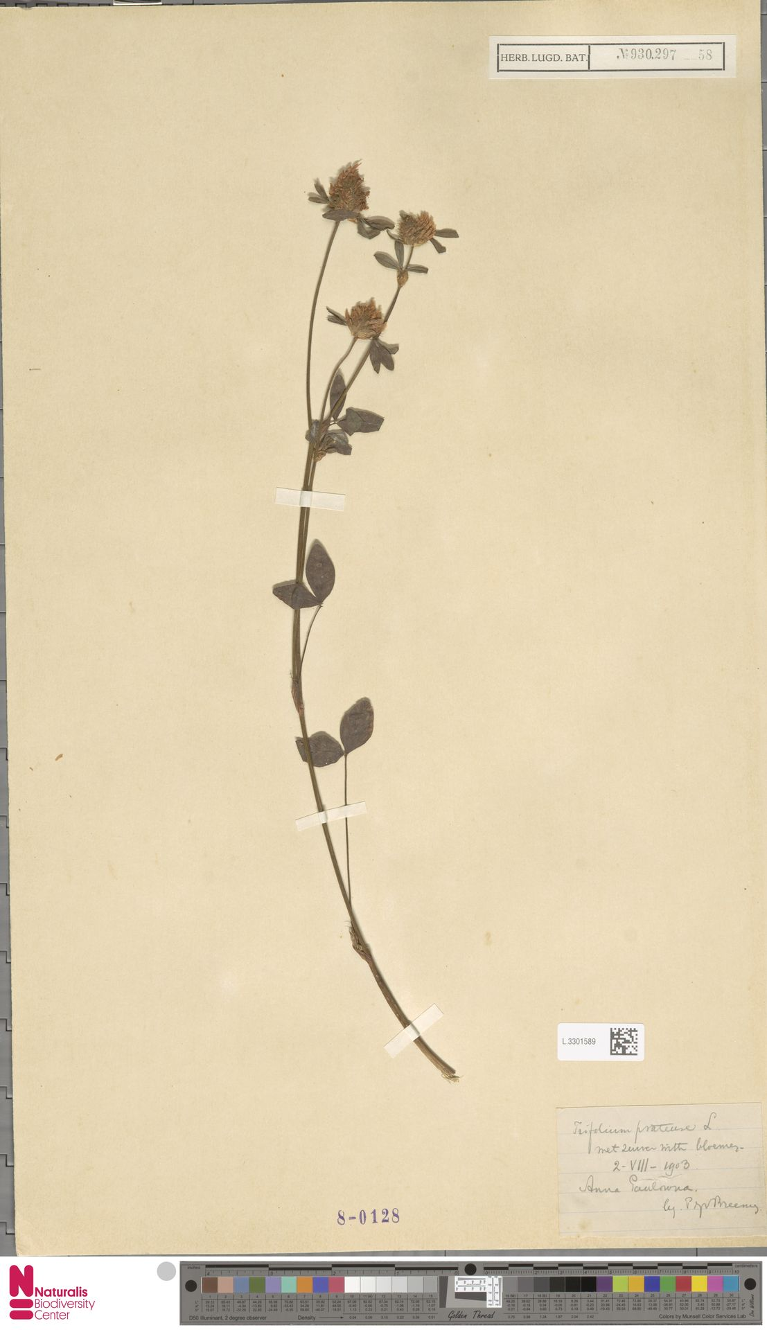 L.3301589   Trifolium pratense L.