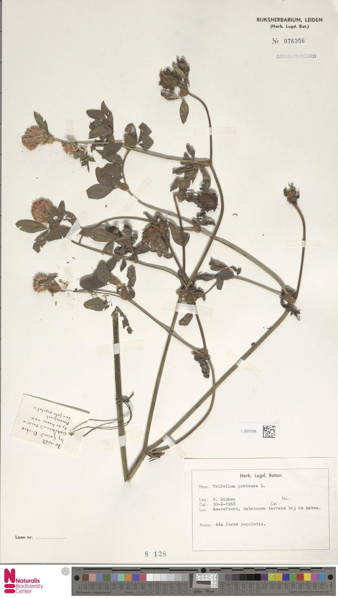 L.3301596 | Trifolium pratense L.