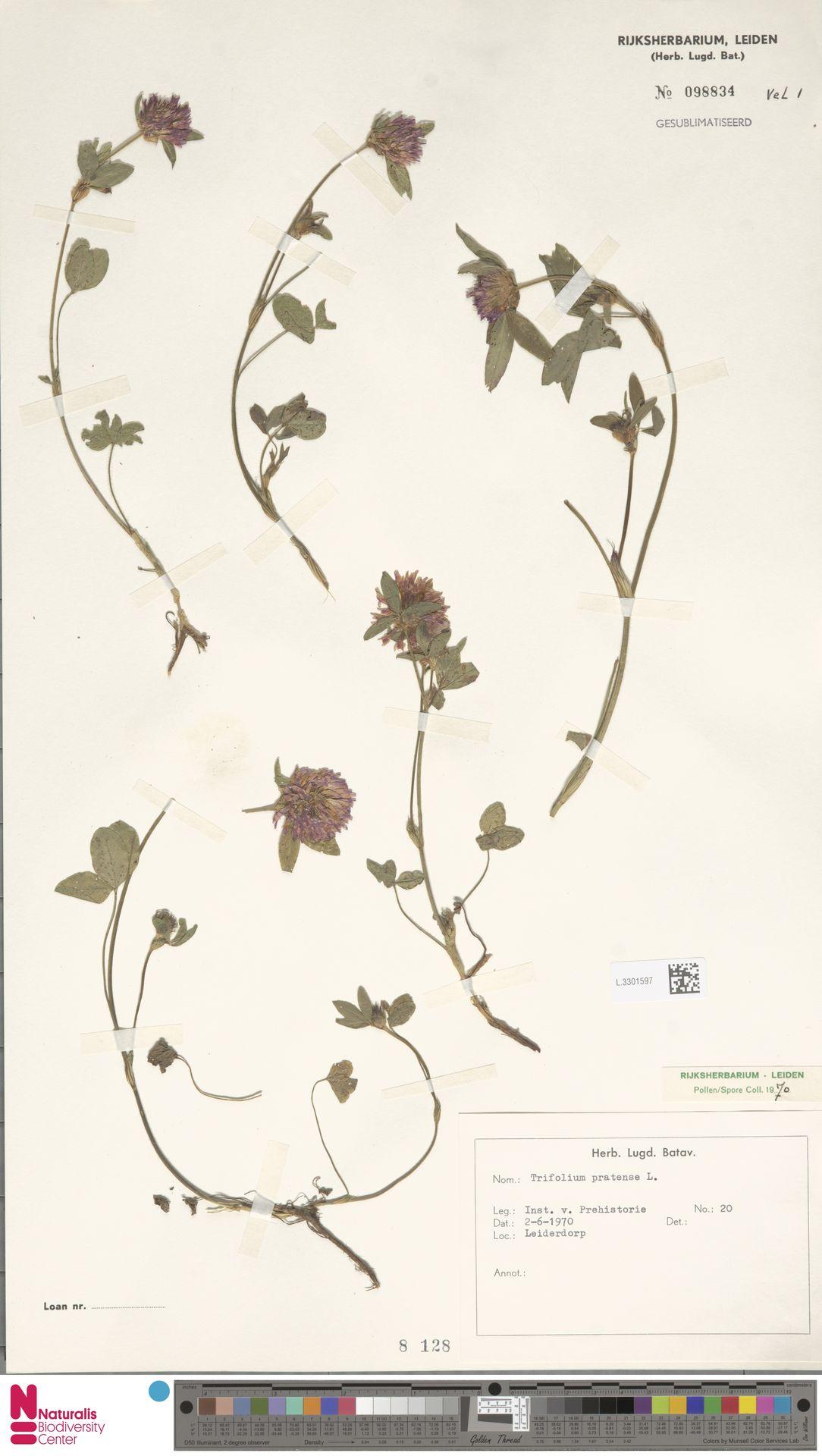 L.3301597 | Trifolium pratense L.