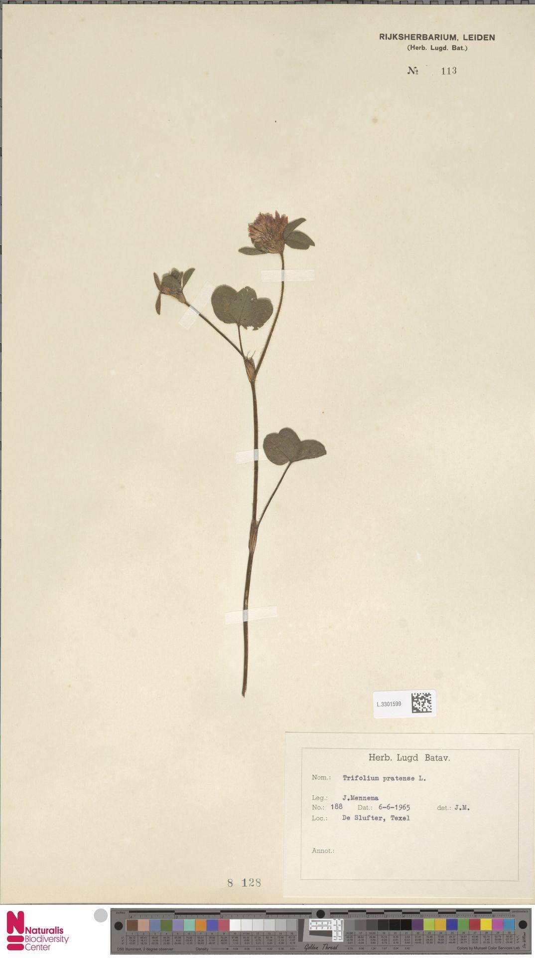L.3301599 | Trifolium pratense L.