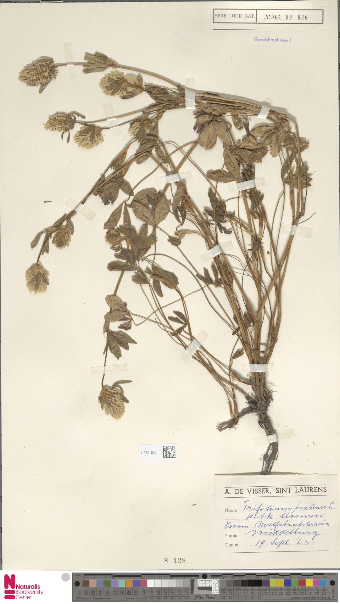 L.3301606 | Trifolium pratense L.