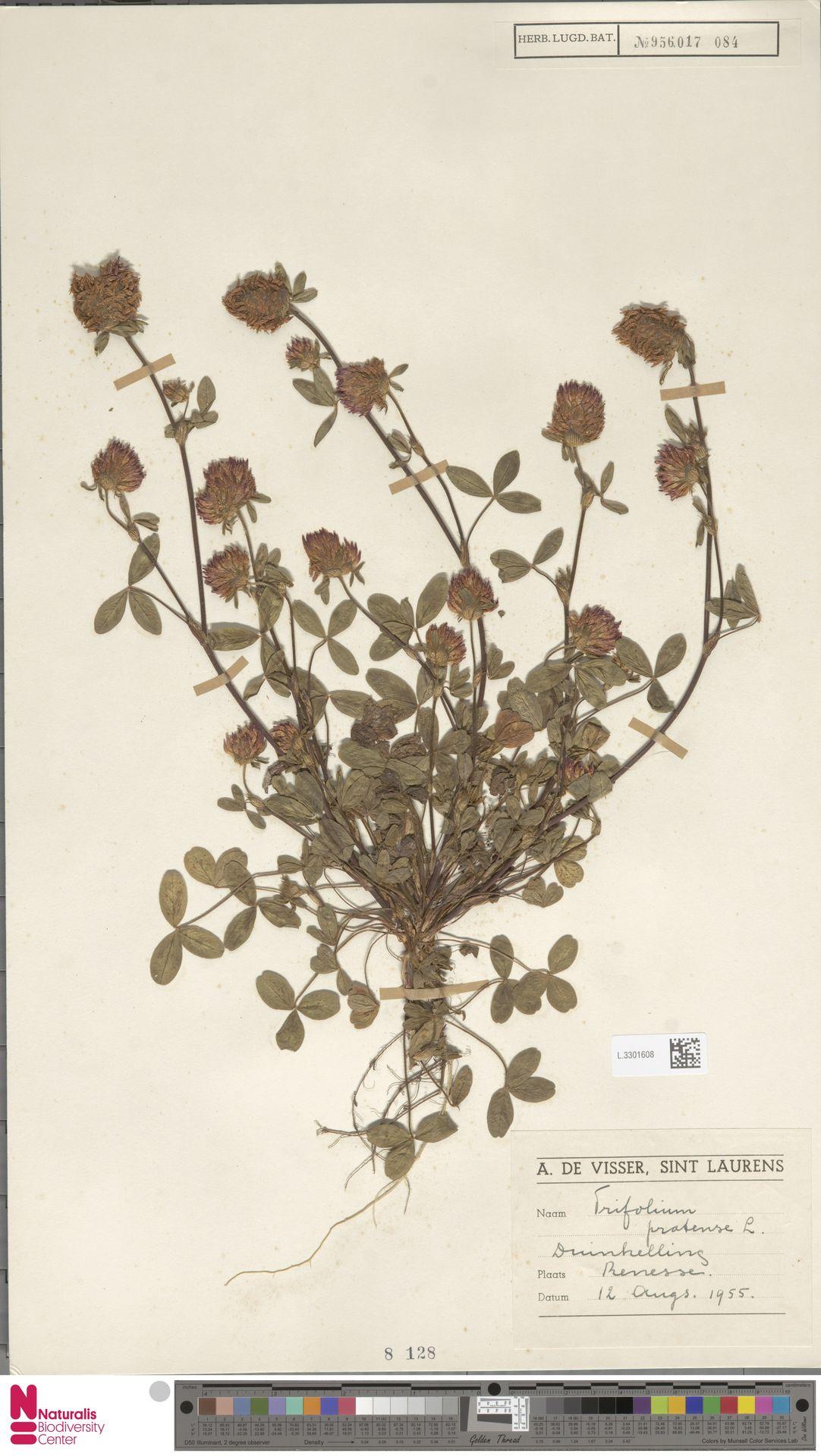 L.3301608   Trifolium pratense L.