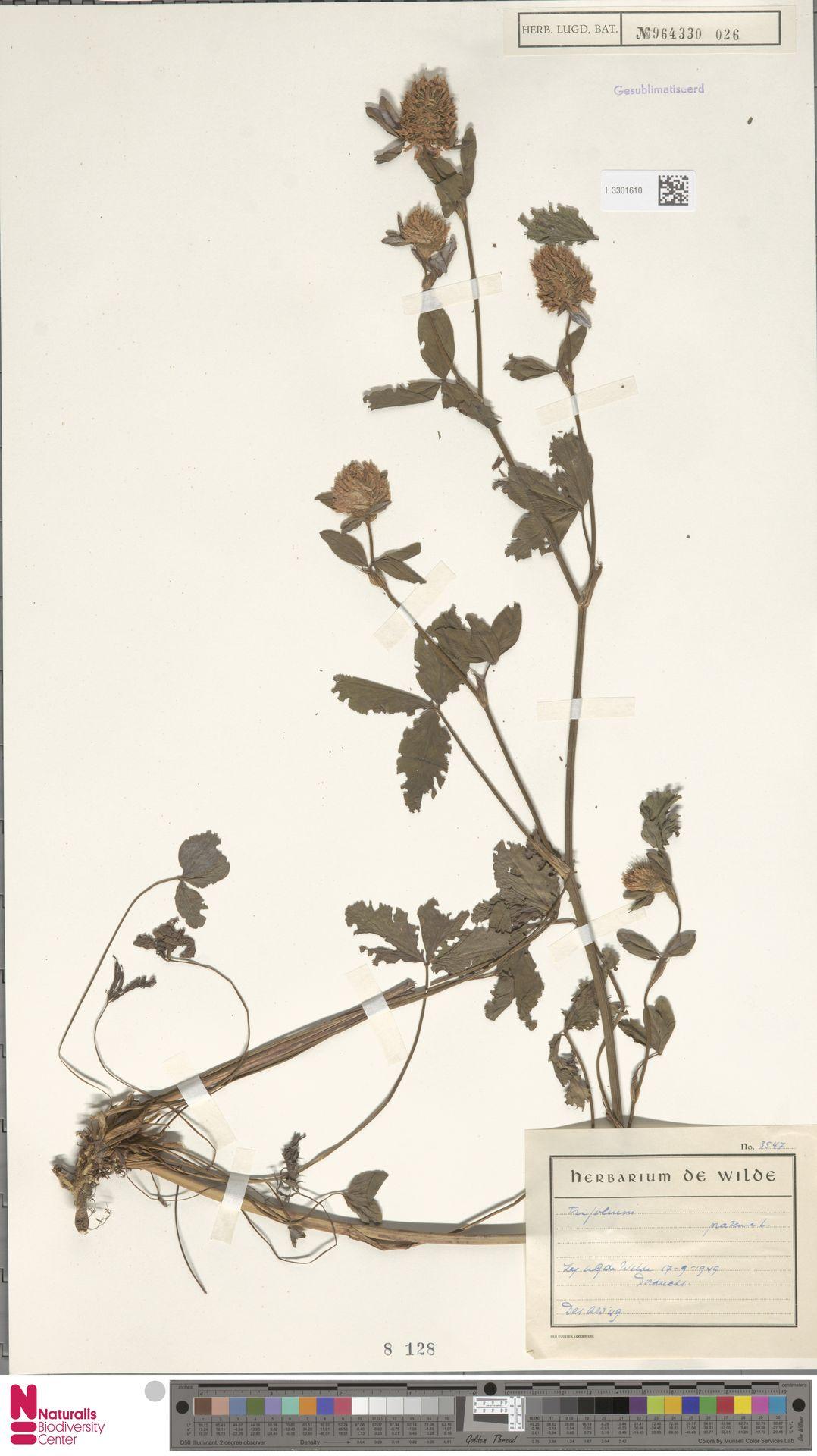 L.3301610   Trifolium pratense L.