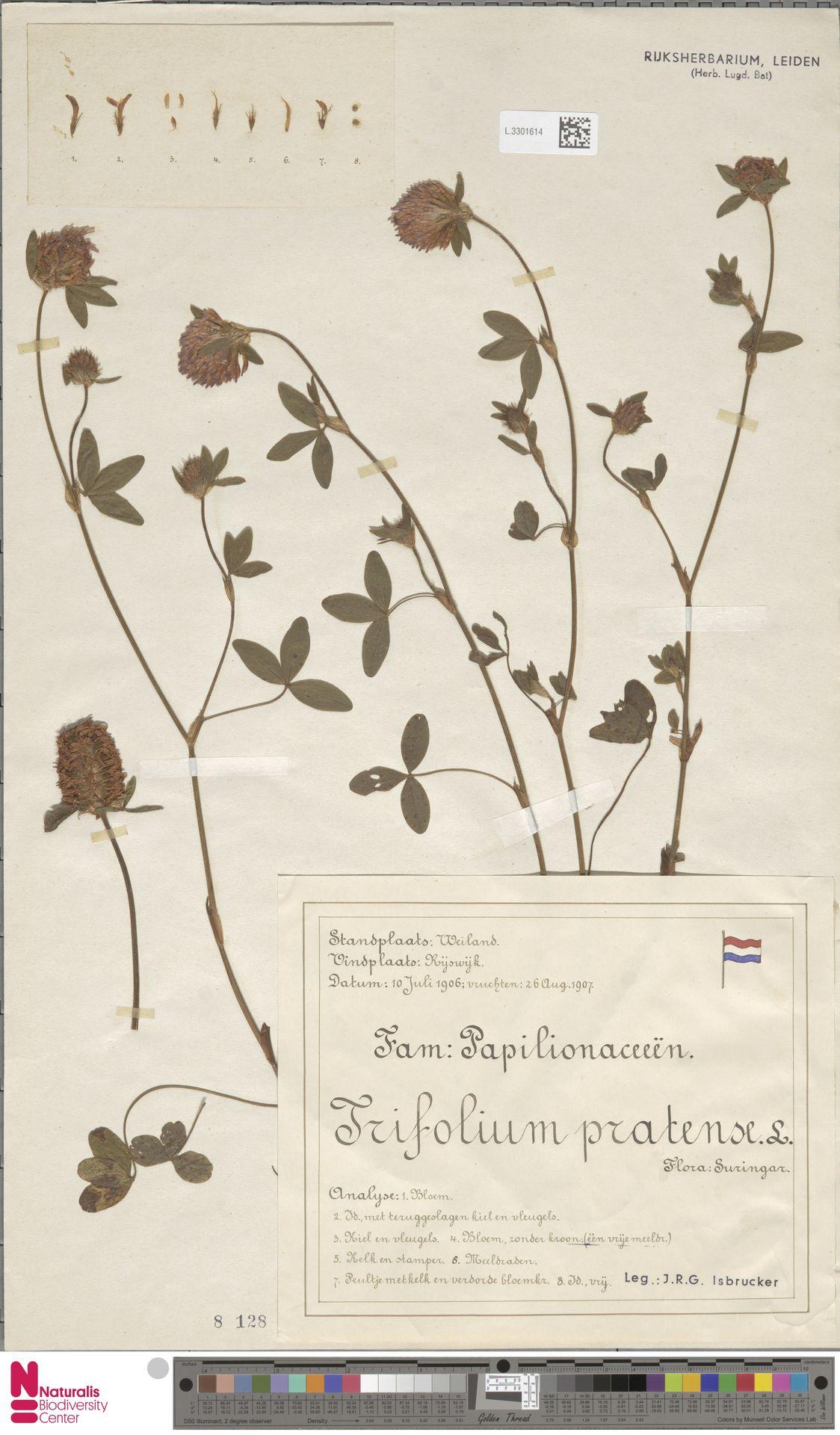 L.3301614   Trifolium pratense L.