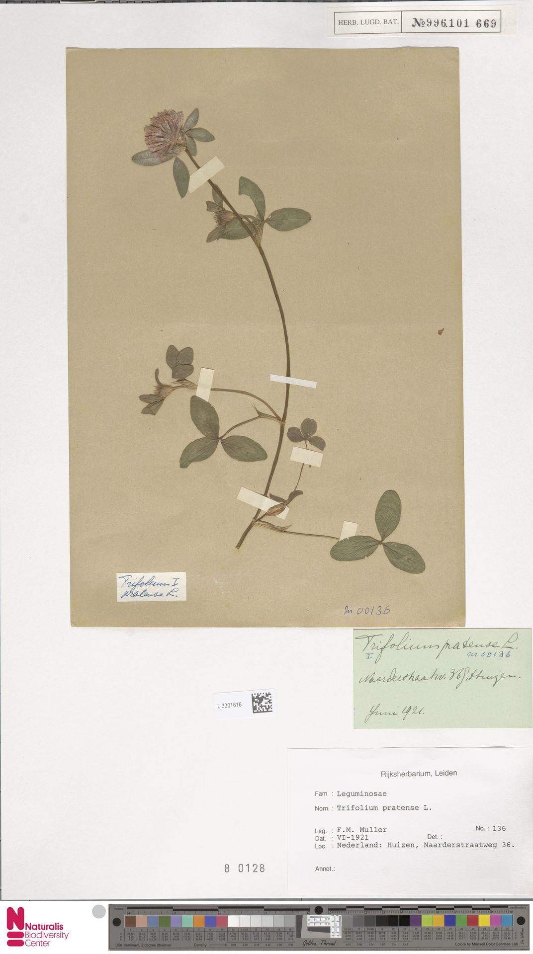 L.3301616   Trifolium pratense L.