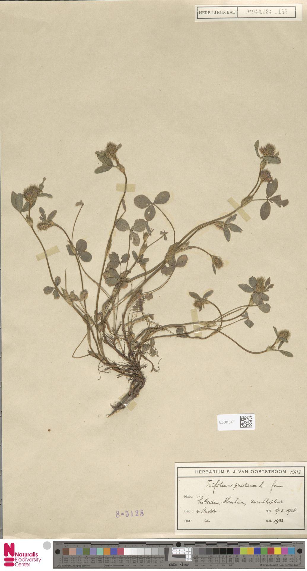 L.3301617   Trifolium pratense L.