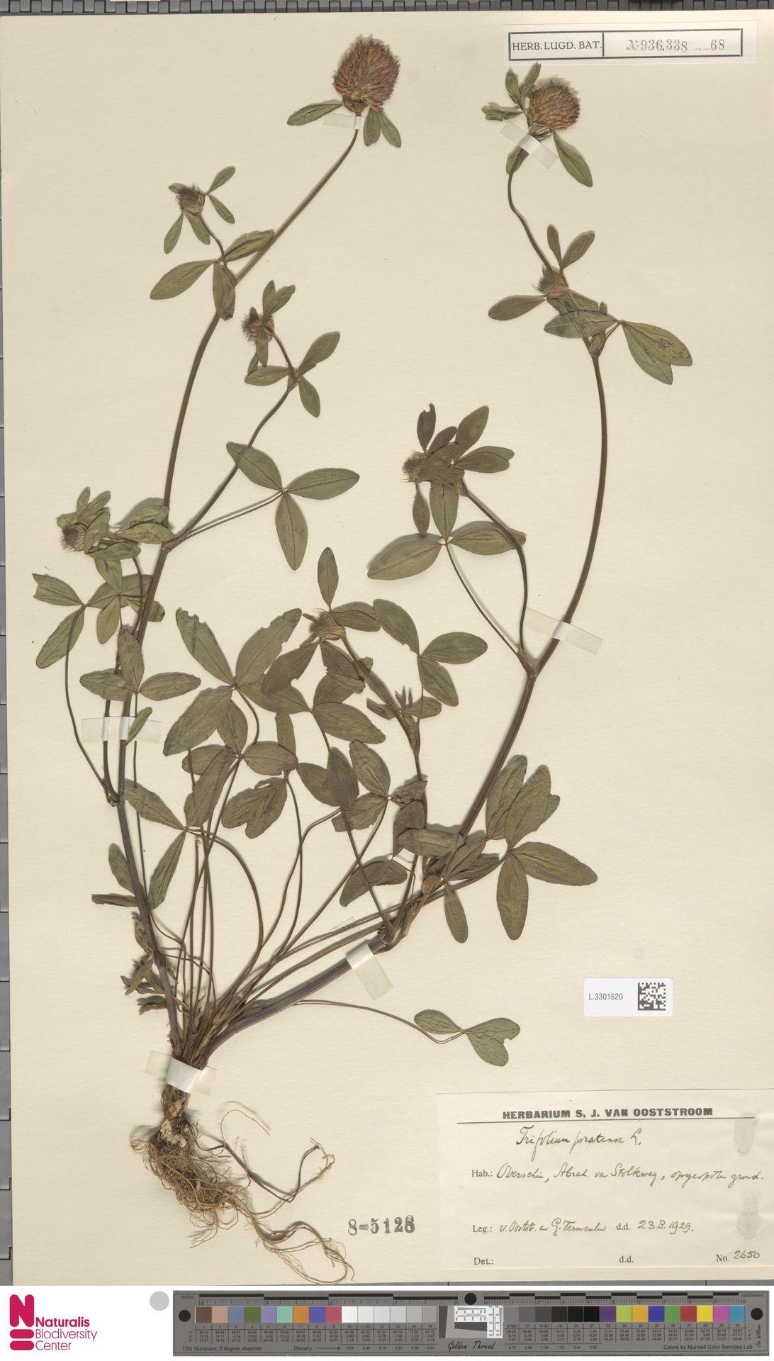 L.3301620 | Trifolium pratense L.
