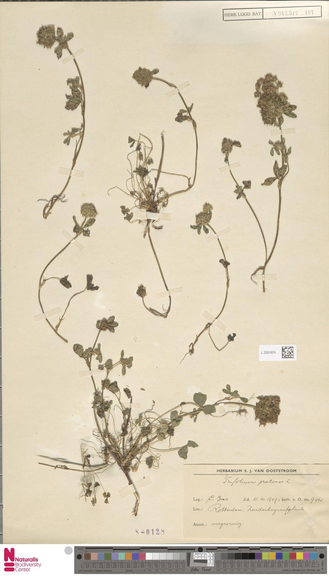 L.3301624 | Trifolium pratense L.