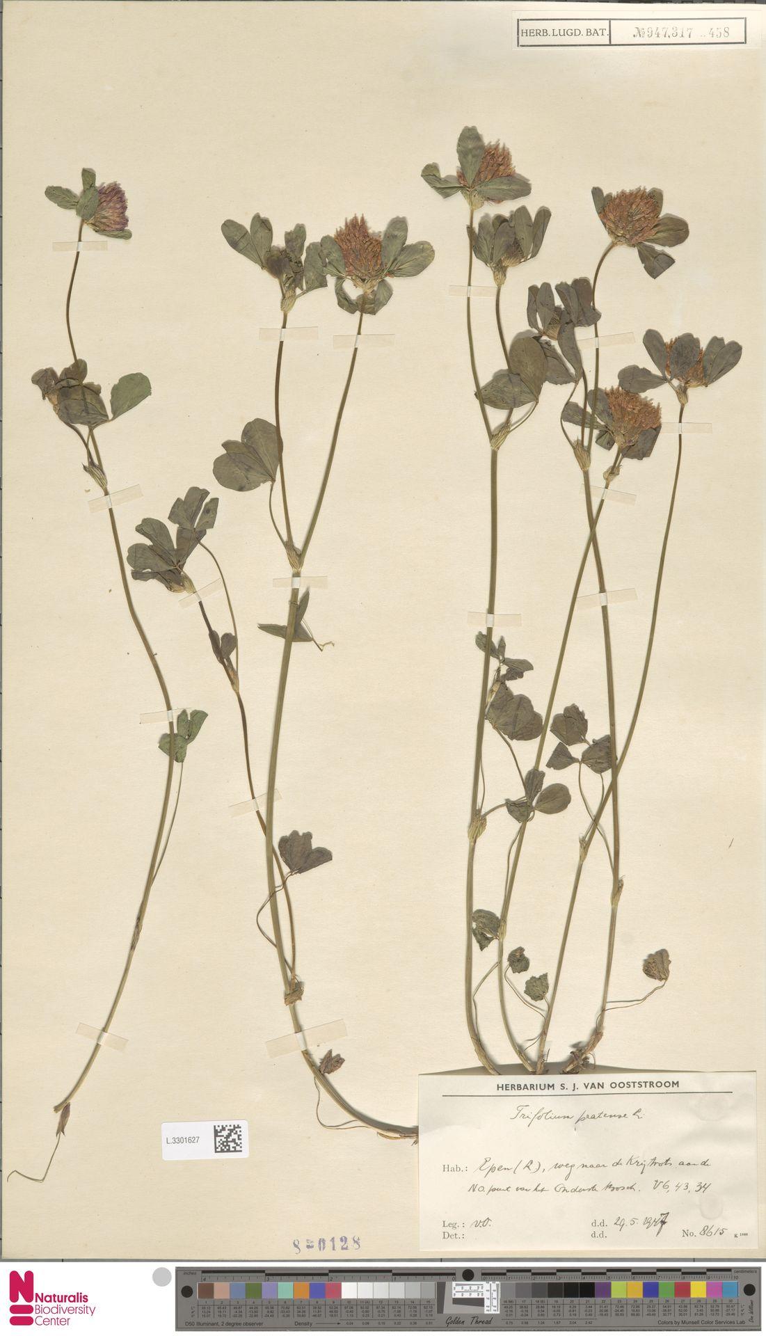 L.3301627 | Trifolium pratense L.