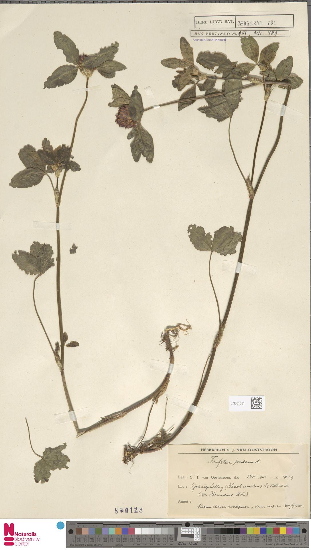 L.3301631 | Trifolium pratense L.