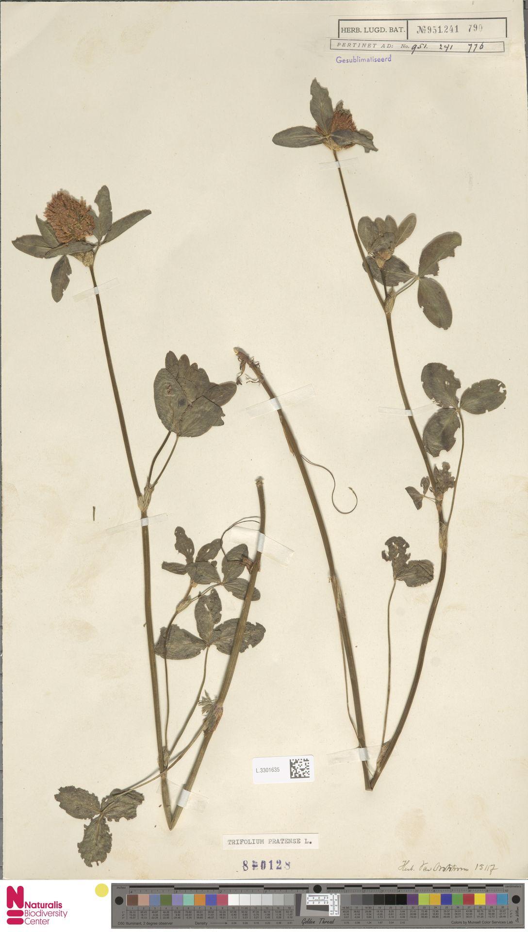 L.3301635 | Trifolium pratense L.