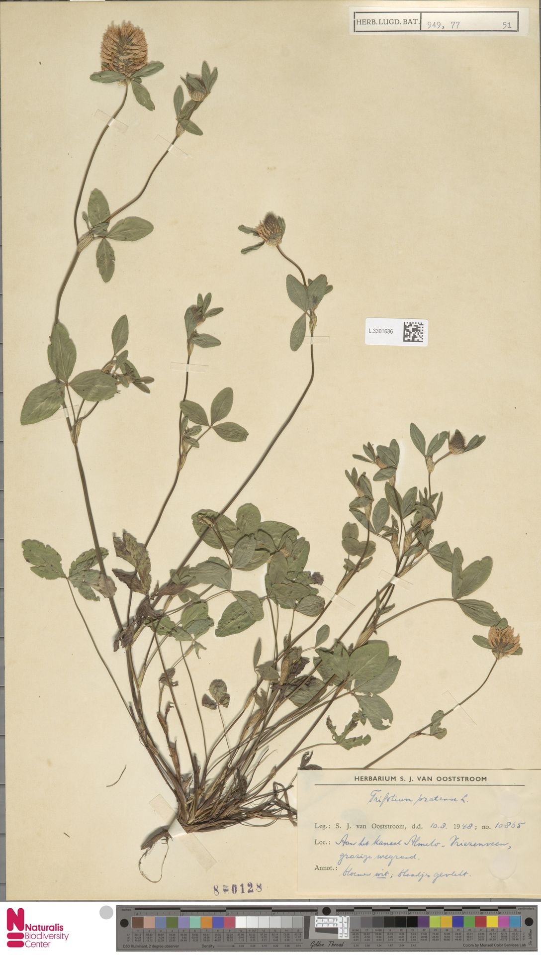 L.3301636 | Trifolium pratense L.
