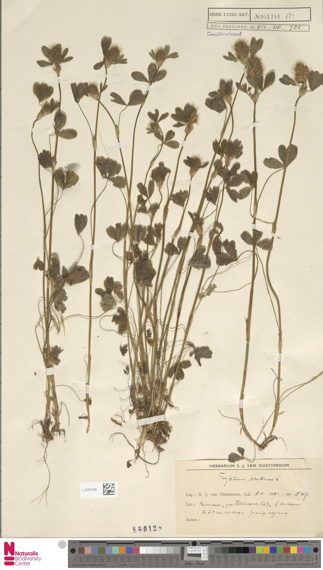 L.3301638 | Trifolium pratense L.