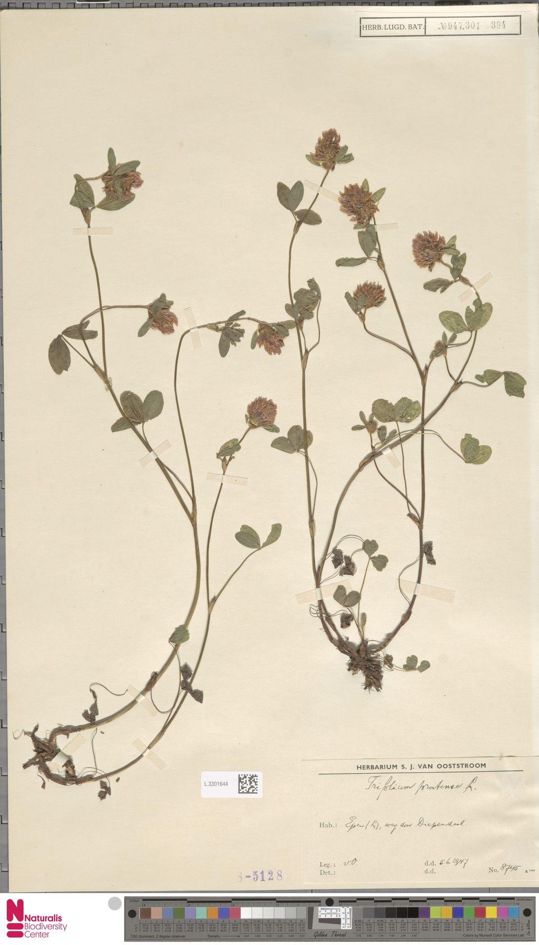 L.3301644 | Trifolium pratense L.
