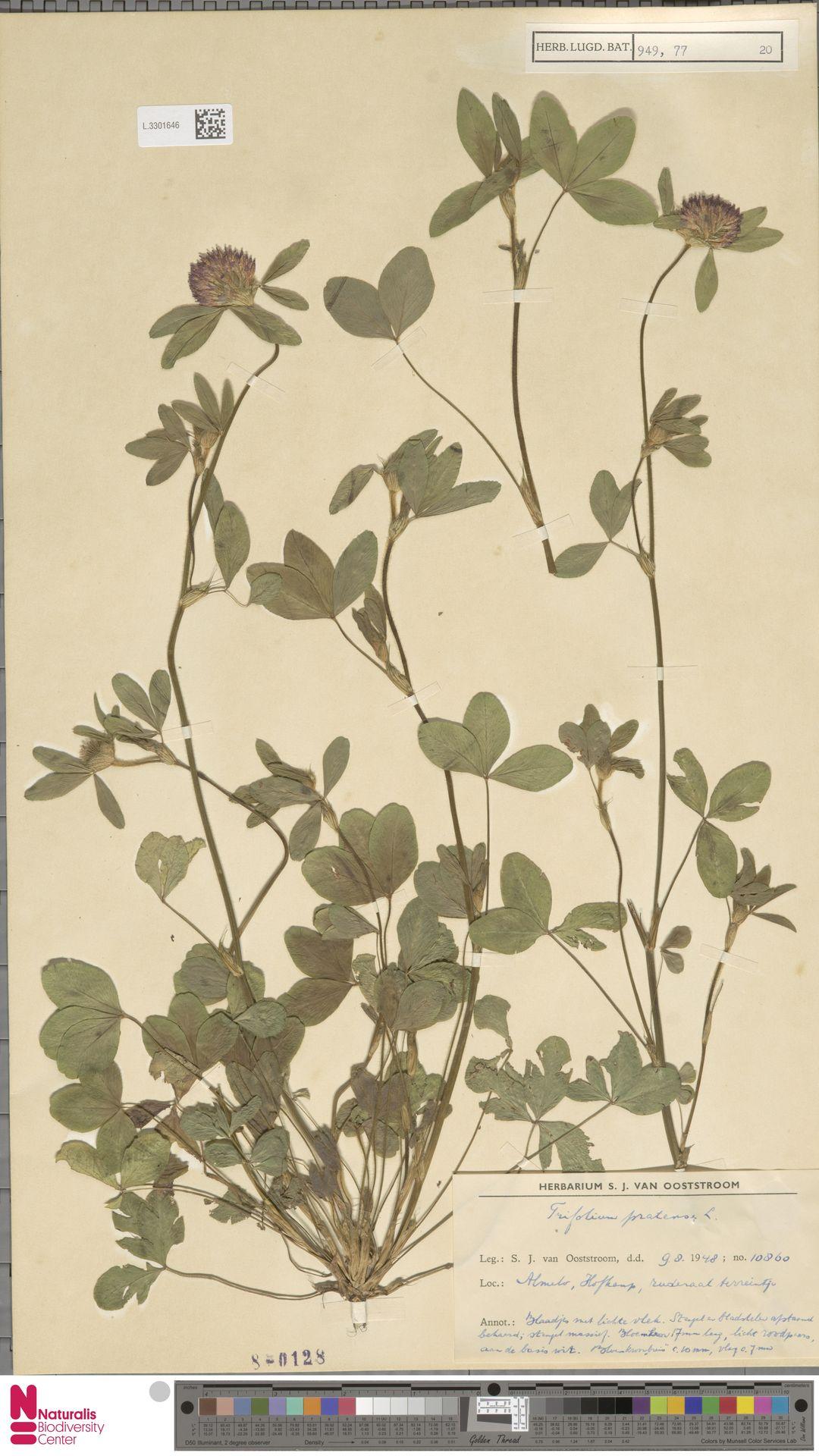 L.3301646 | Trifolium pratense L.