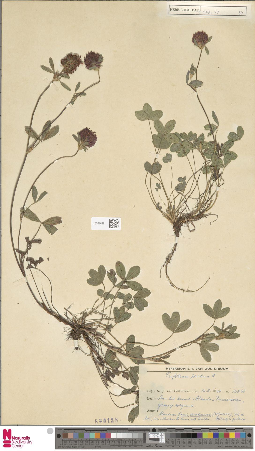 L.3301647 | Trifolium pratense L.