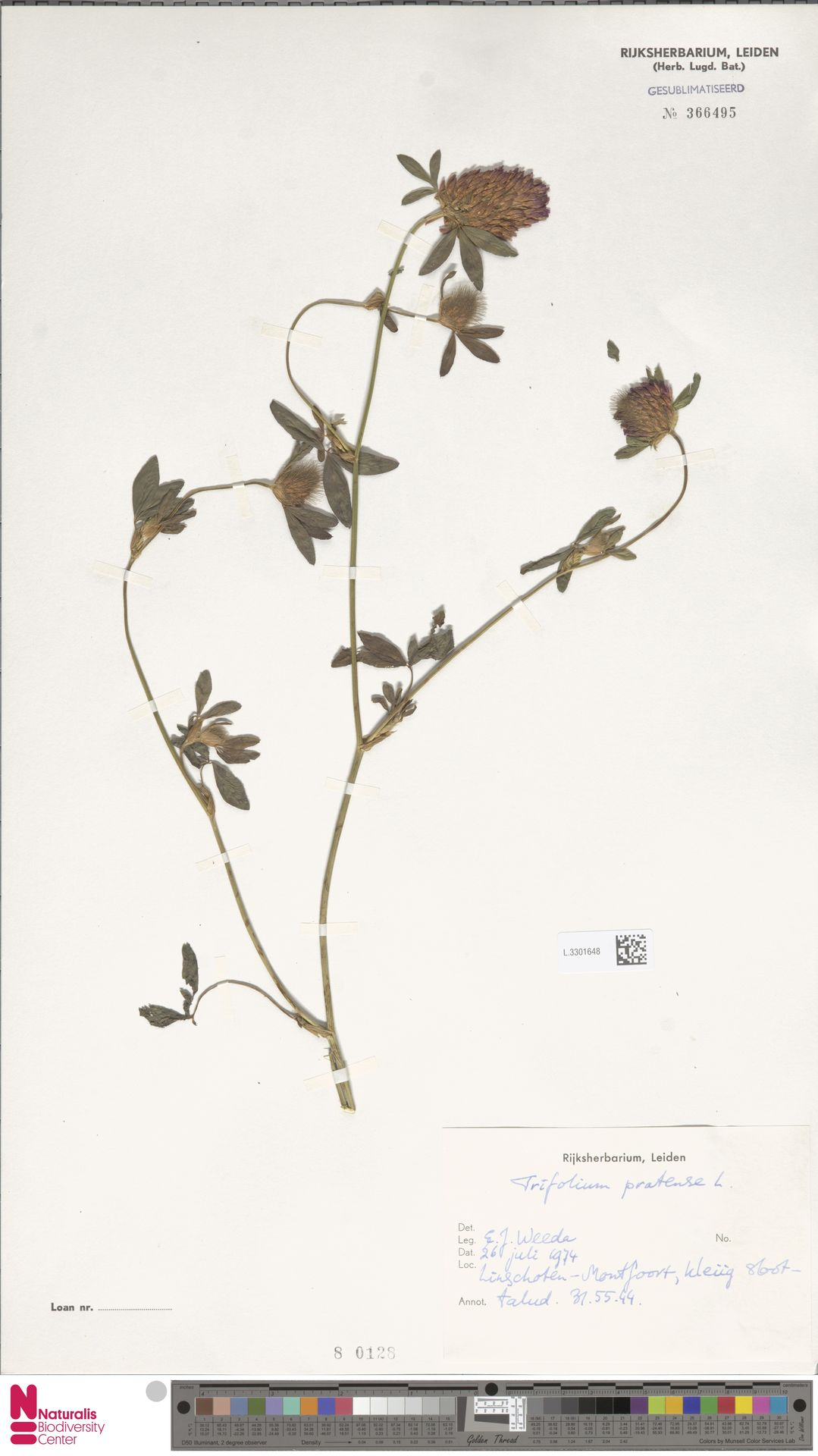 L.3301648   Trifolium pratense L.