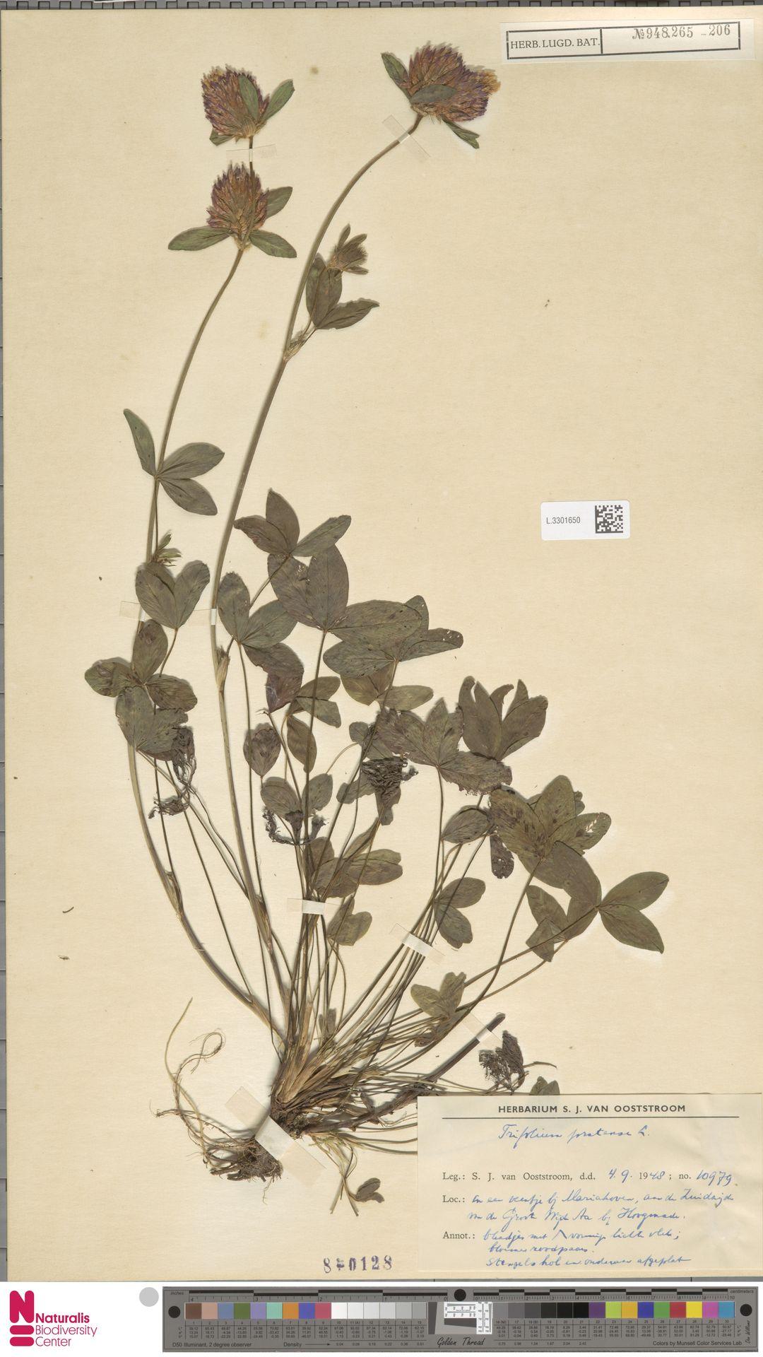 L.3301650 | Trifolium pratense L.
