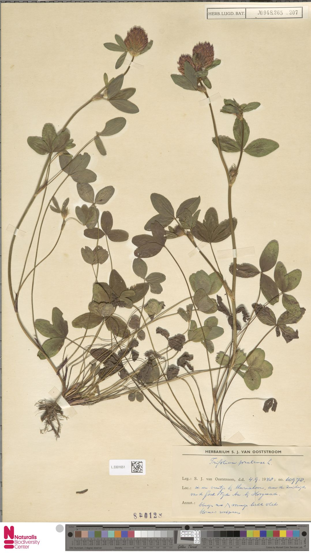L.3301651 | Trifolium pratense L.
