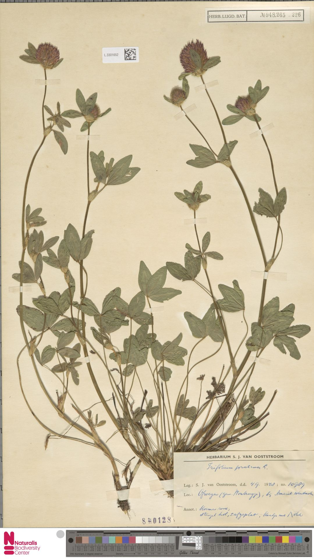 L.3301652   Trifolium pratense L.