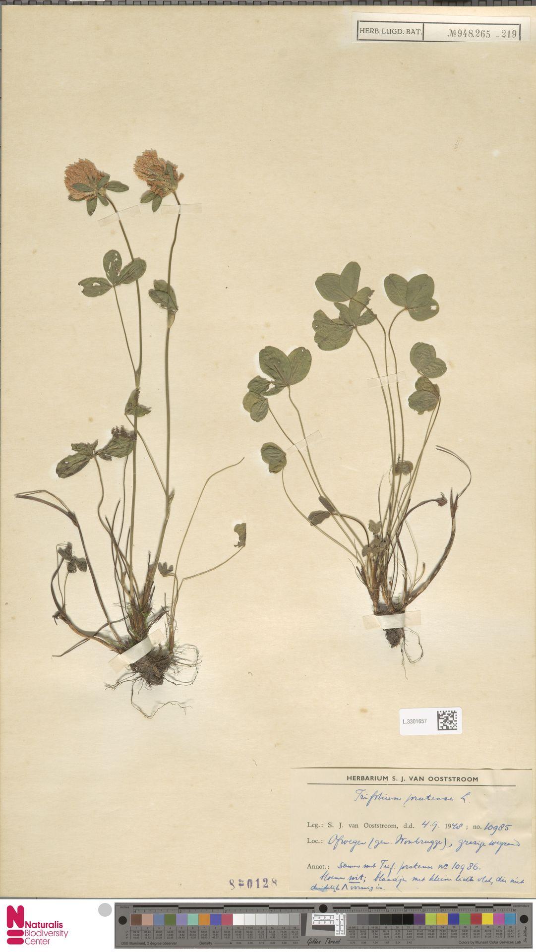 L.3301657   Trifolium pratense L.