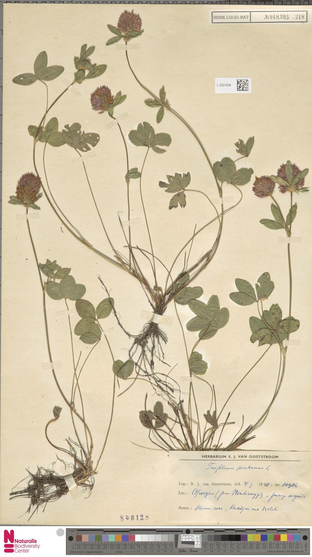 L.3301658 | Trifolium pratense L.