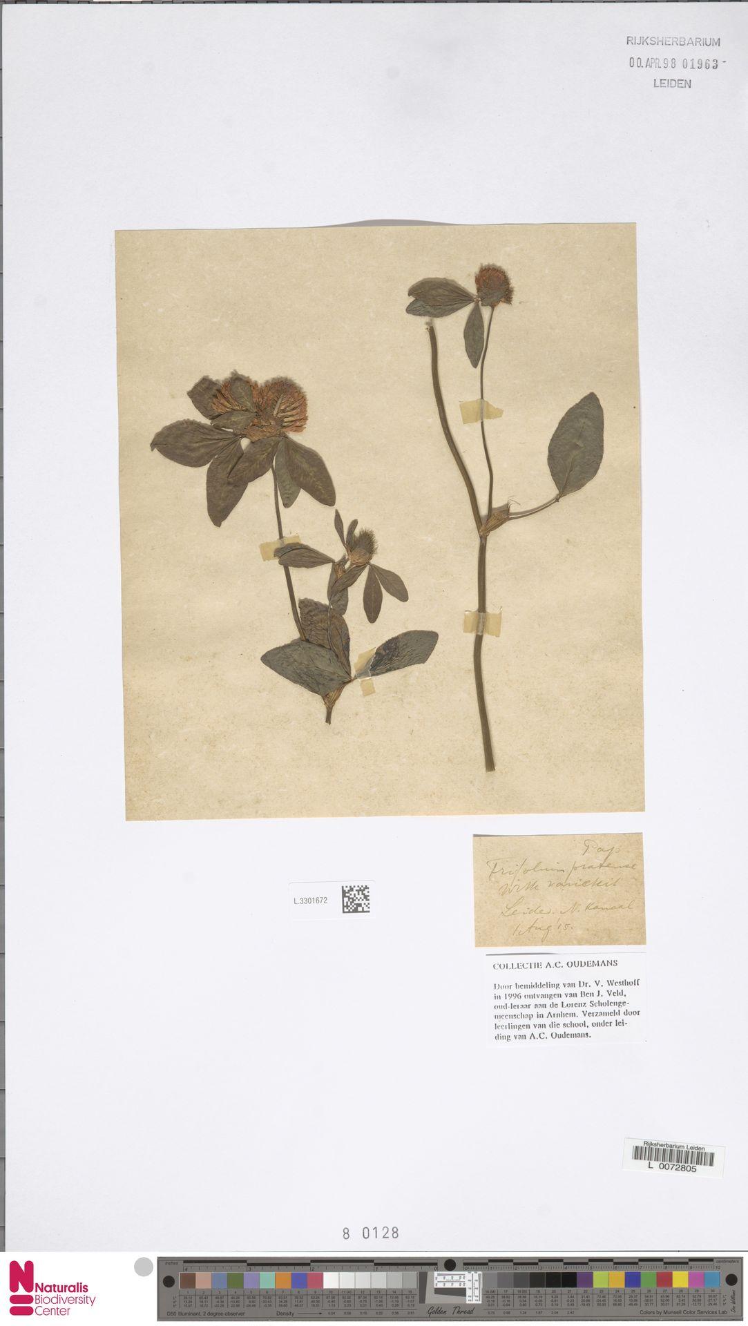 L.3301672 | Trifolium pratense L.