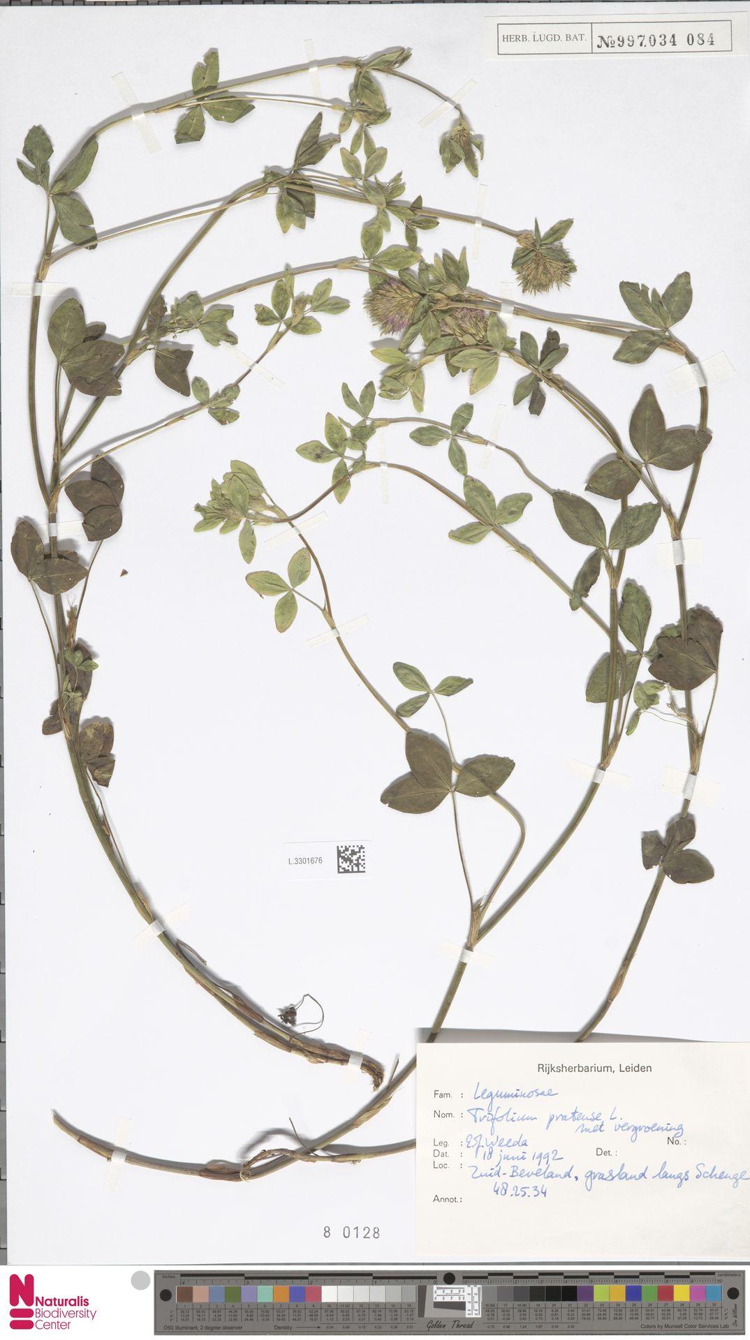 L.3301676 | Trifolium pratense L.