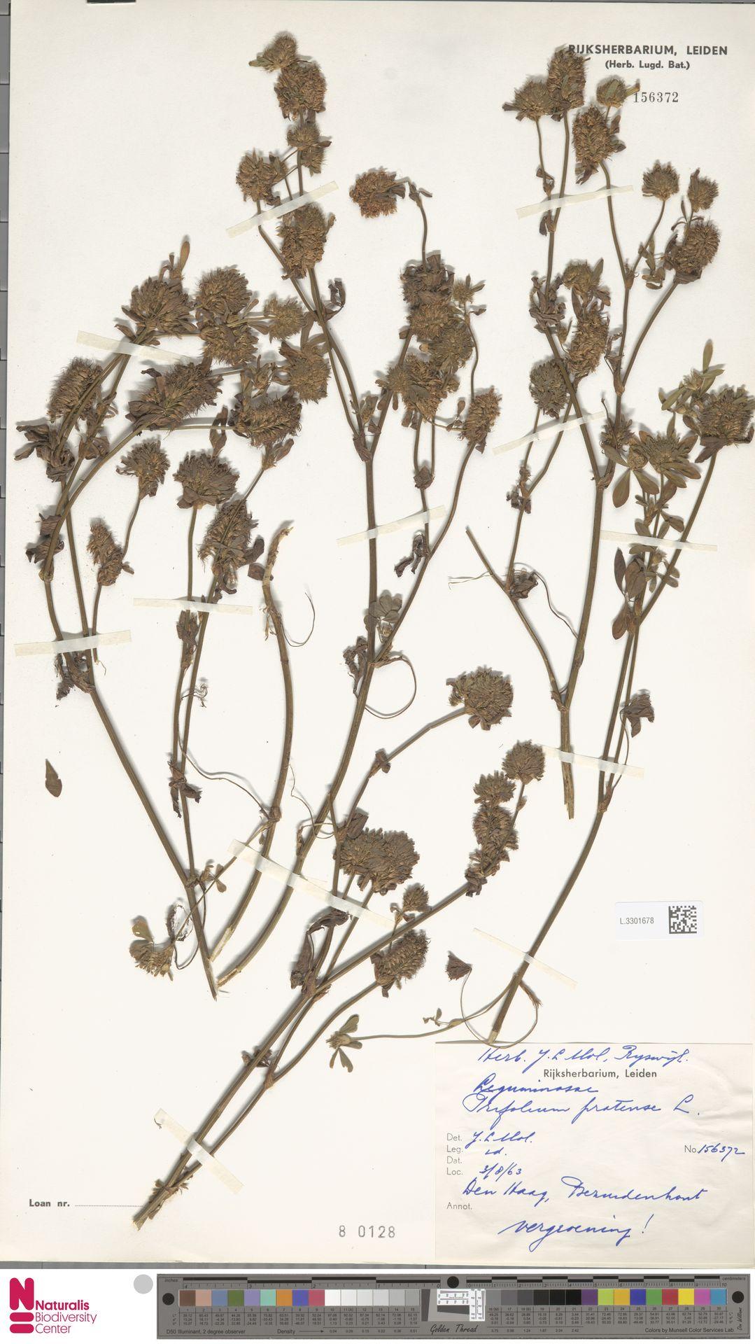 L.3301678   Trifolium pratense L.