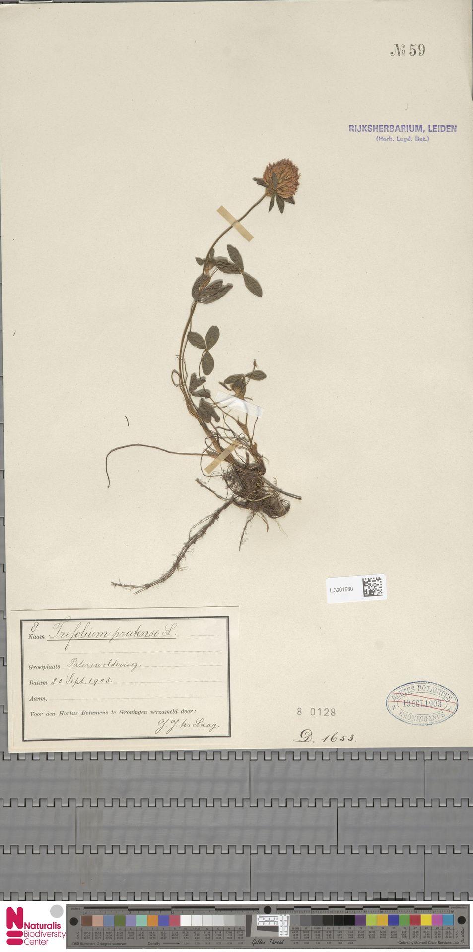 L.3301680 | Trifolium pratense L.