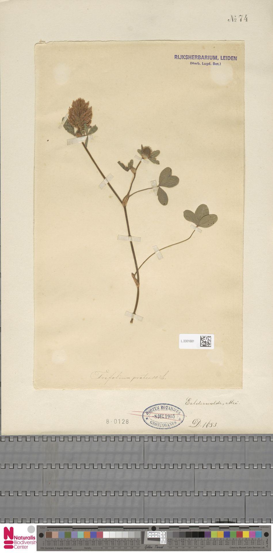 L.3301681 | Trifolium pratense L.