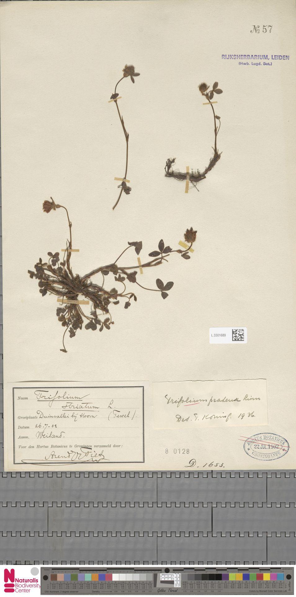 L.3301689 | Trifolium pratense L.