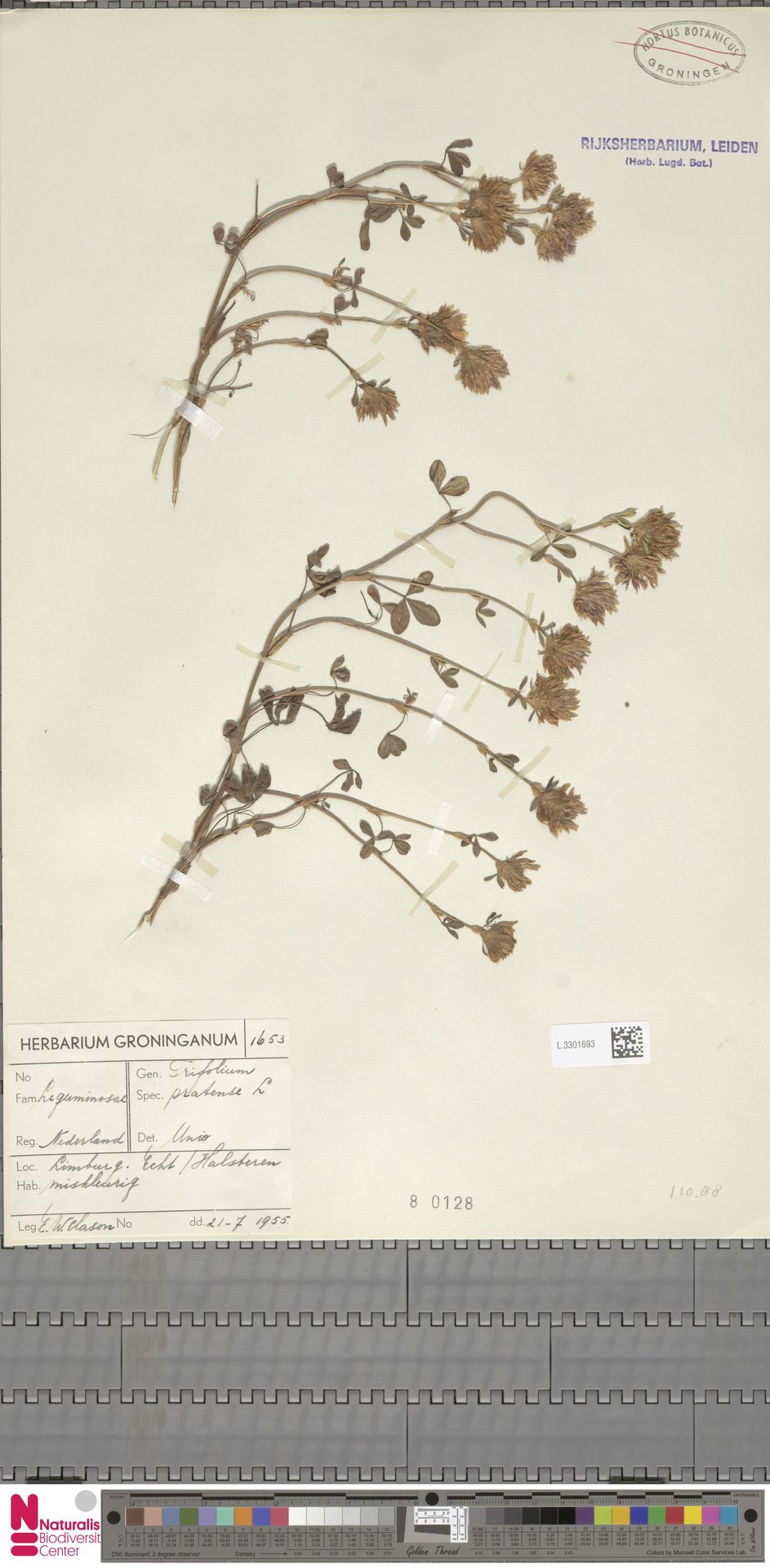L.3301693 | Trifolium pratense L.