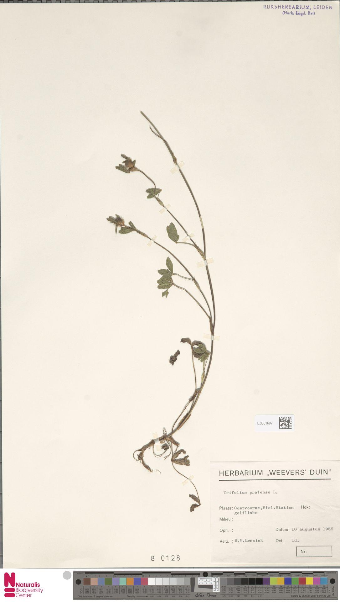 L.3301697 | Trifolium pratense L.