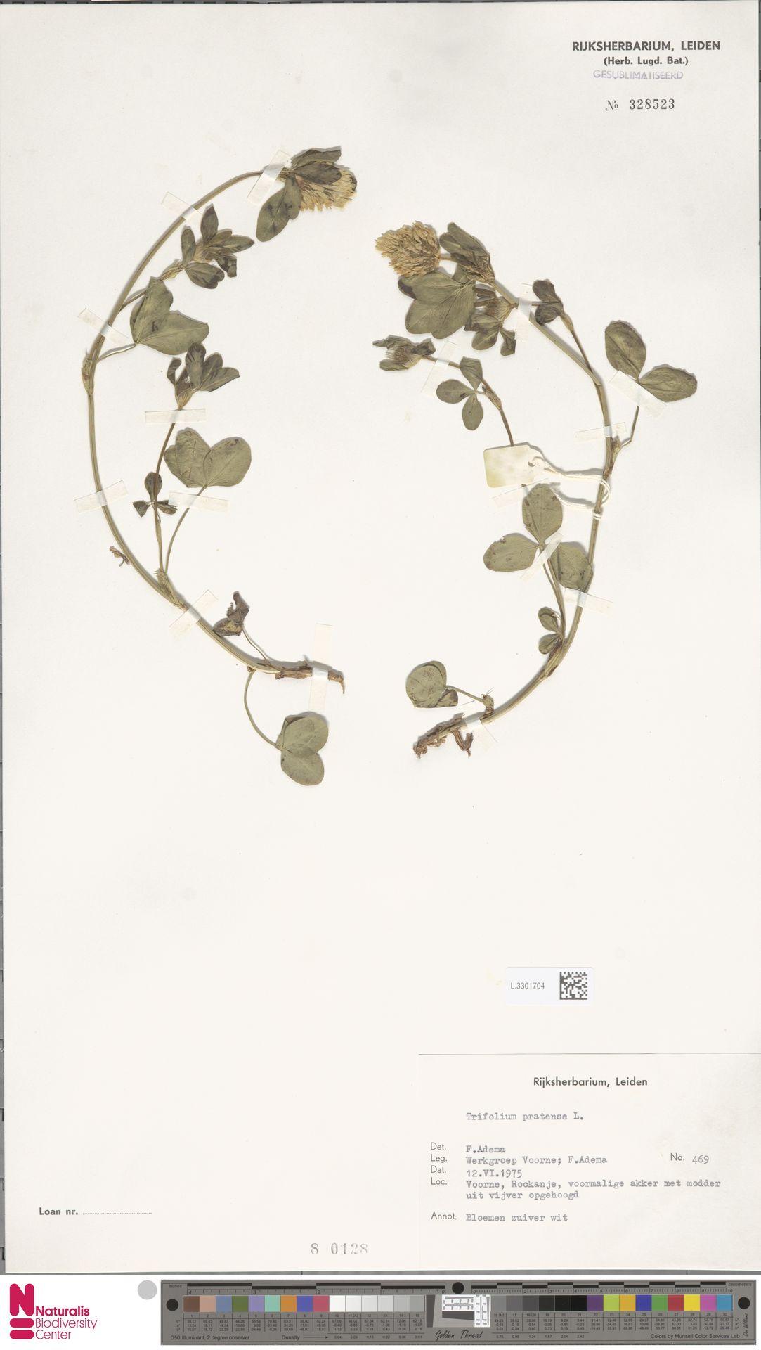 L.3301704 | Trifolium pratense L.