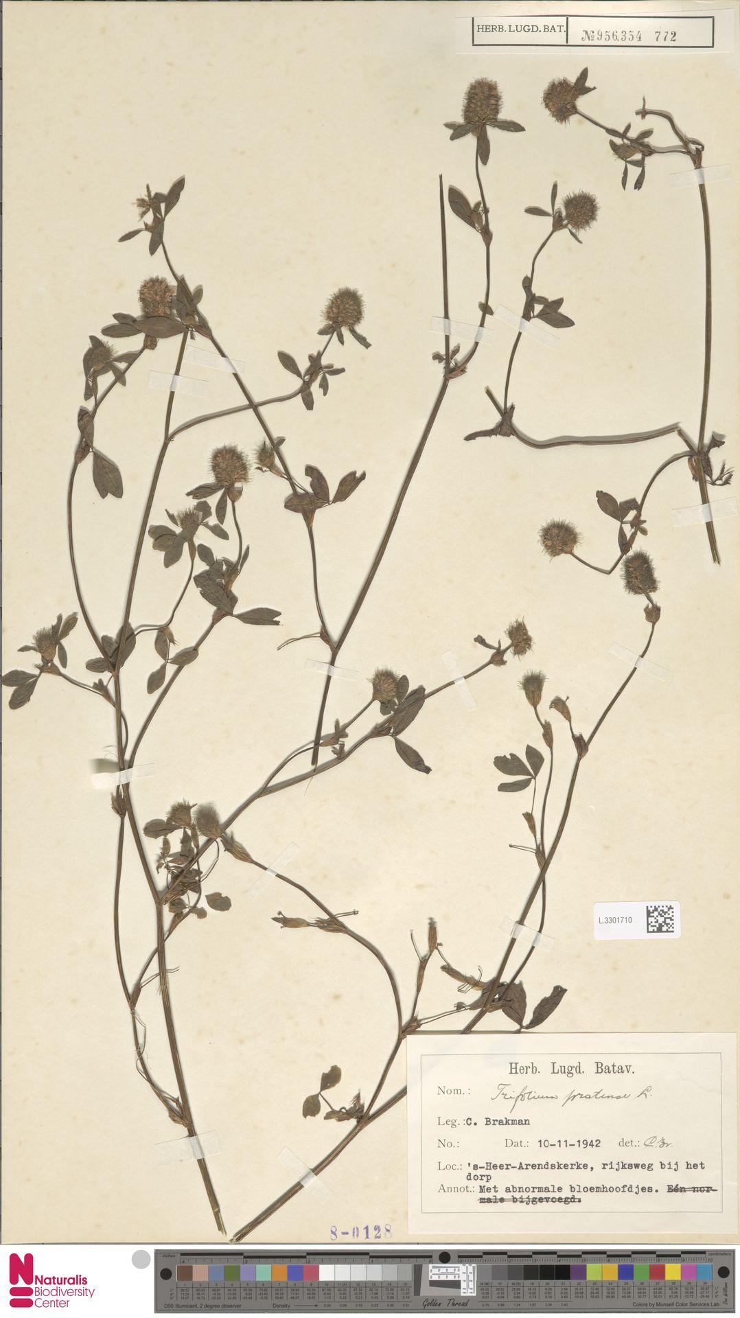 L.3301710   Trifolium pratense L.