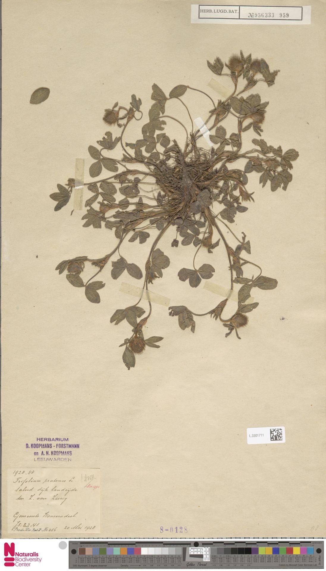 L.3301711 | Trifolium pratense L.