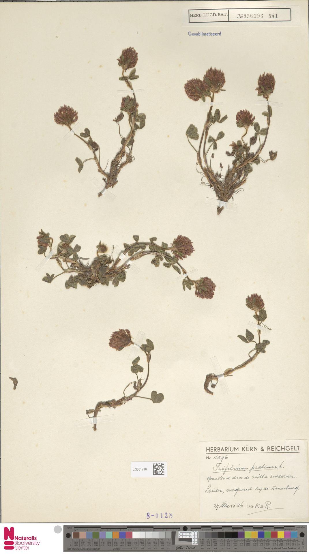 L.3301716 | Trifolium pratense L.