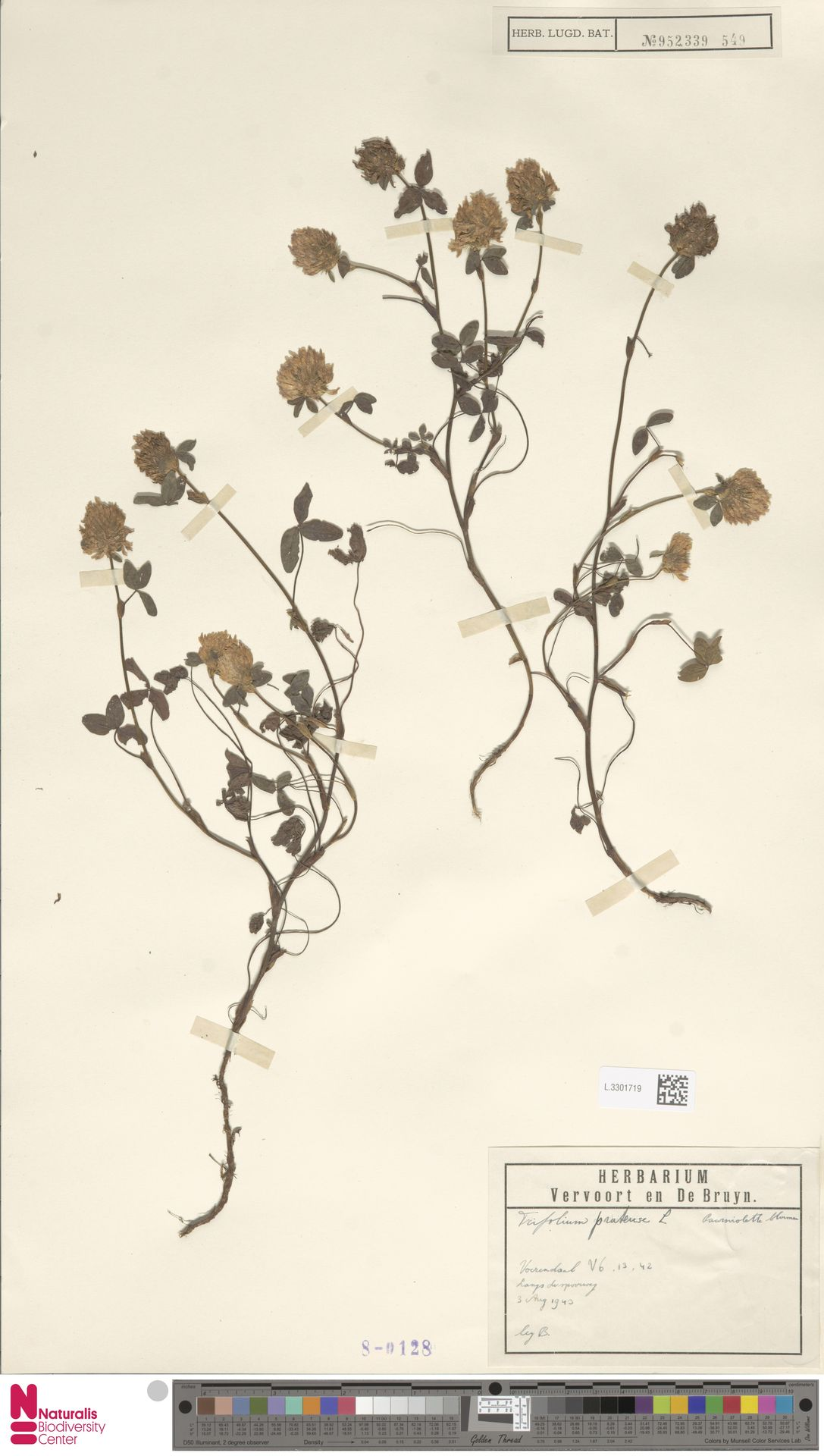 L.3301719 | Trifolium pratense L.